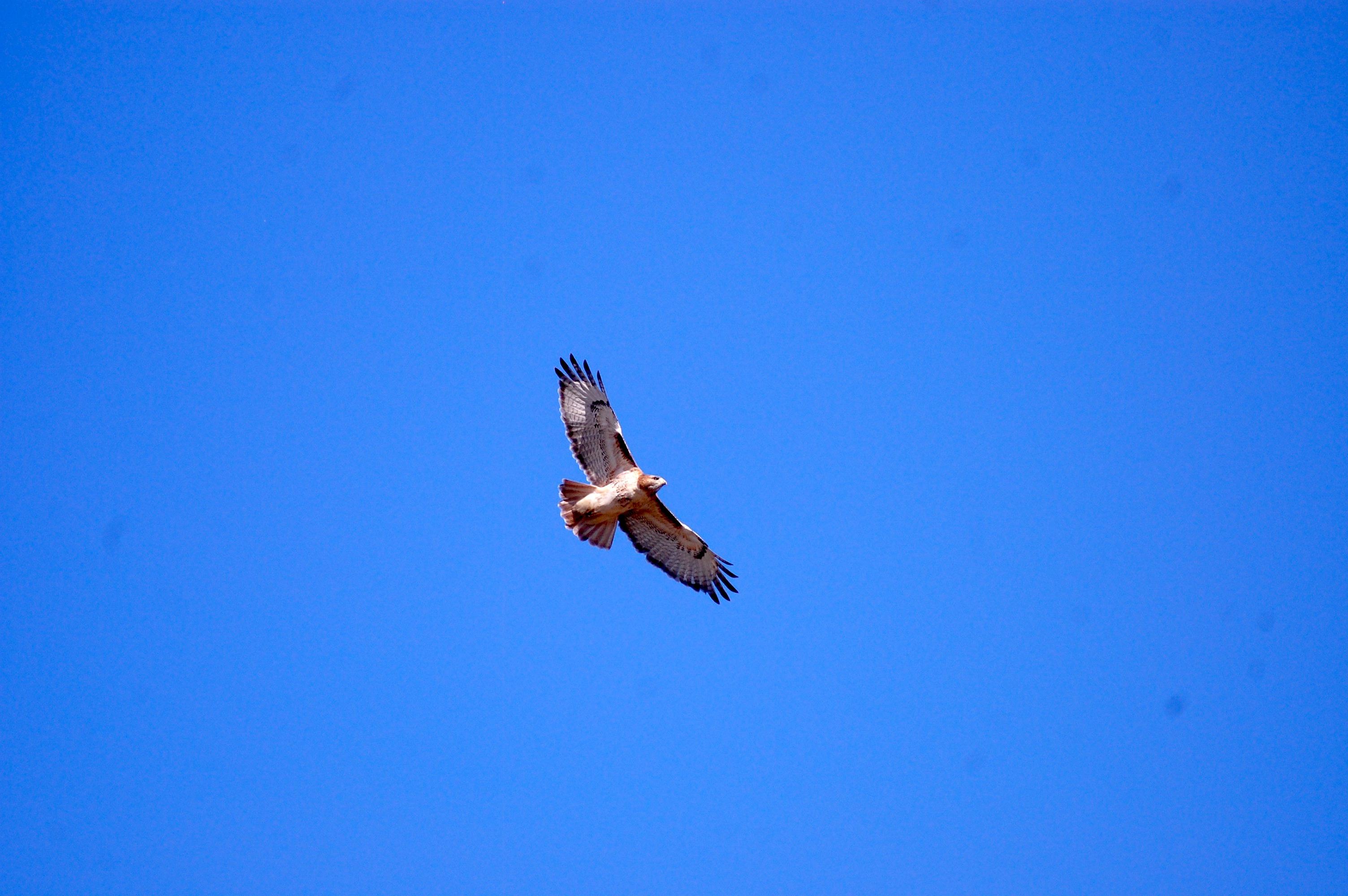 favorite hawk